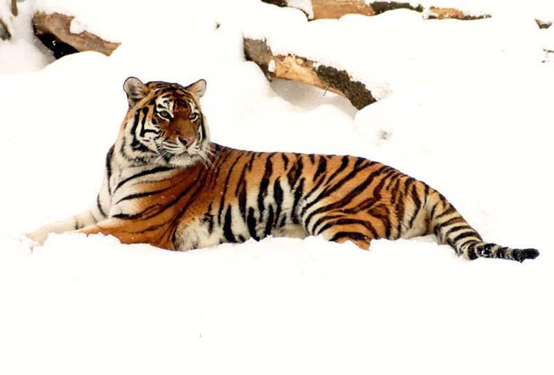 интенсивных письмо браконьеру про амурского тигра набирает большую популярность
